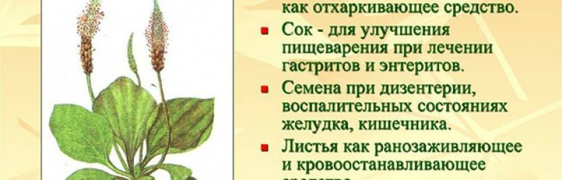 Лечение бронхита подорожником: народные рецепты