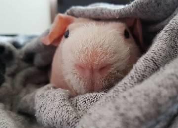 Аллергия на морскую свинку: симптомы, фото, первая помощь