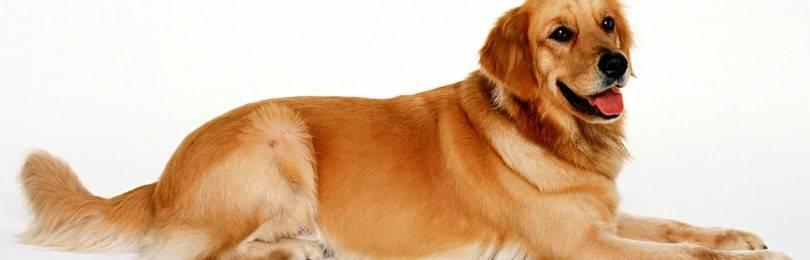 Помогает ли мясо собаки для профилактики туберкулеза?