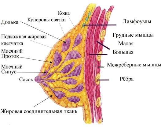 Строение молочной железы у женщин и ее главное предназначение
