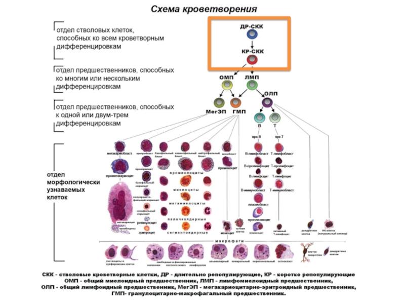 Что такое стволовые клетки и зачем они нужны?