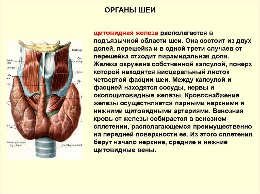 Строение щитовидной железы | анатомия и расположение щитовидки
