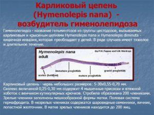 Карликовый цепень - возбудитель гименолепидоза