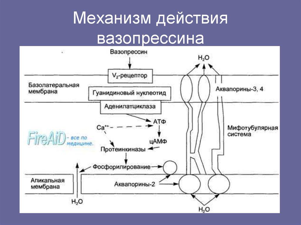Антидиуретический гормон (вазопрессин, адг): что это за гормон