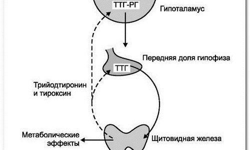 Всё о гормонах щитовидной железы