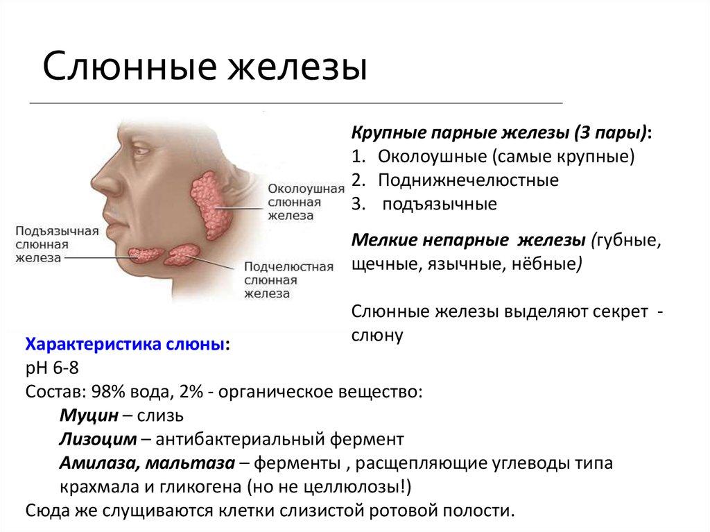 Слюна википедия