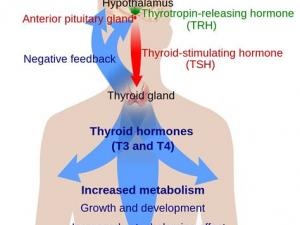 Щитовидная железа или расшатанные нервы?