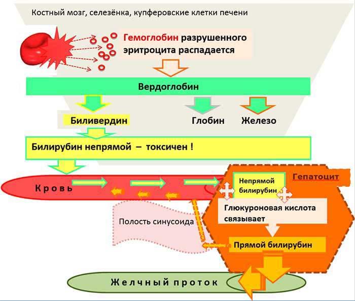 Как взаимосвязаны повышенный билирубин и синдром жильбера