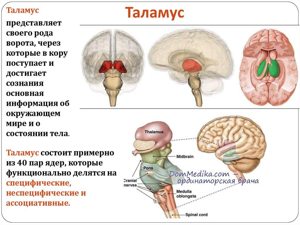 Кора головного мозга, зоны коры головного мозга. строение и функции коры головного мозга