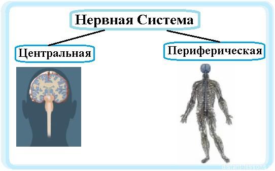 Периферическая нервная система — традиция