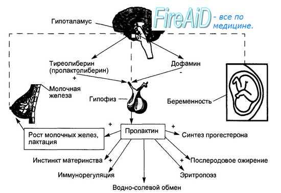 Гормоны гипофизарно-надпочечниковой системы