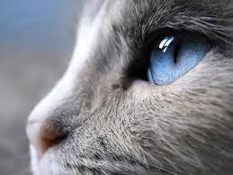 Глаукома у кошки причины