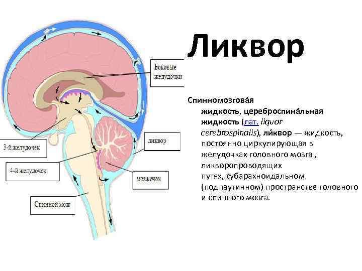 Cтроение и функции желудочков головного мозга