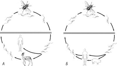 Африканская трипаносома (сонная болезнь)