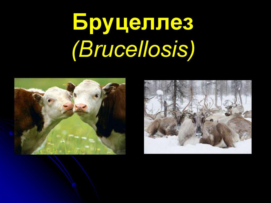 Бруцеллёз