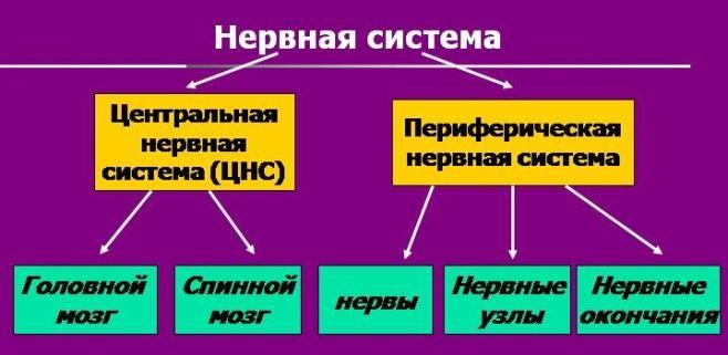 Периферическая нервная система — википедия с видео // wiki 2