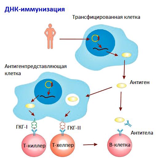 Выдержка из руководства по иммунологии.