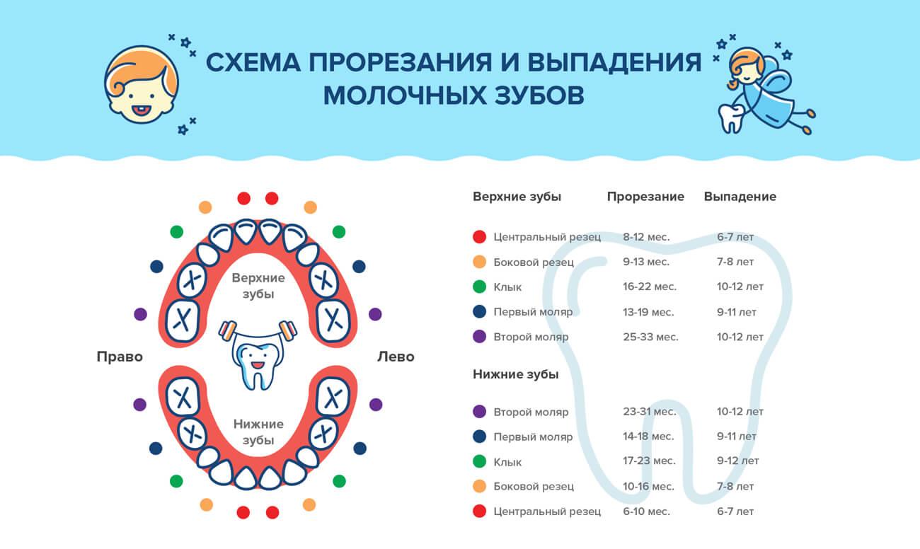 Коренные (постоянные) зубы — строение, виды и развитие, признаки появления у детей