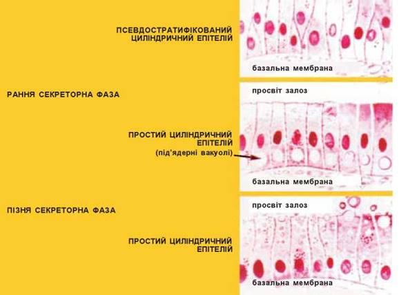 Норма гиперплазии эндометрия матки. гиперплазия эндометрия в пременопаузе: симптомы проявления и способы лечения