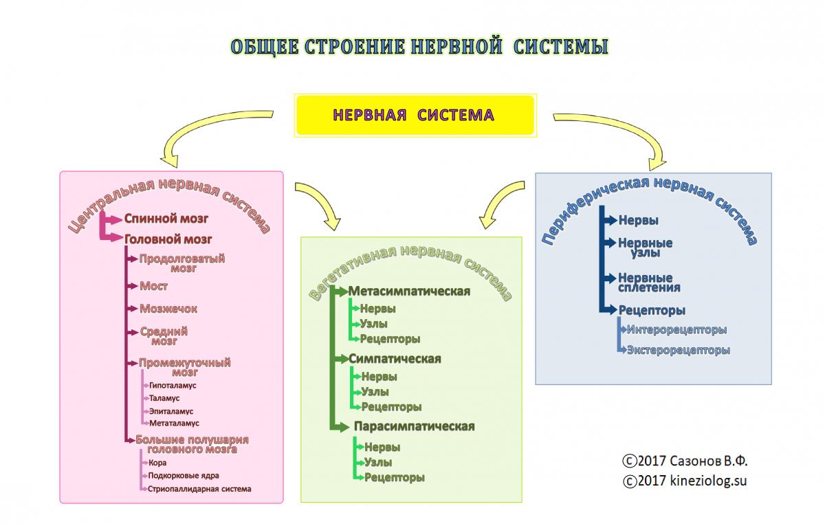 Введение  центральная нервная система  строение