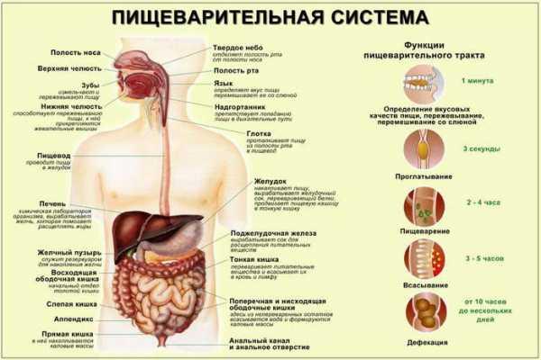Желчь – важная роль в пищеварении, как выглядит, какую функцию выполняют желчные кислоты