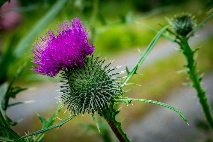 Целительный сорняк: от чего помогает расторопша, способы применения ее семян и почему их состав впечатлит каждого сторонника фитотерапии
