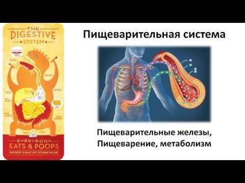 Какой орган выделяет желчь в тонкую кишку
