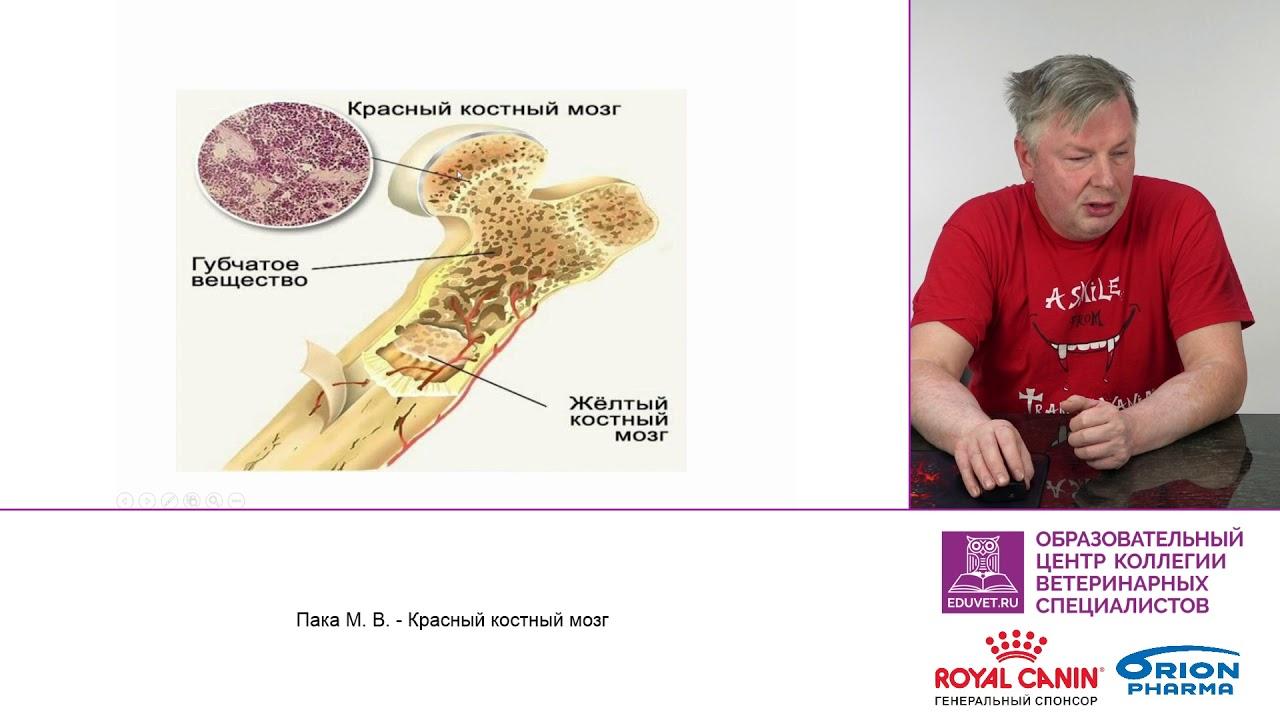 Красный костный мозг человека: функции и строение