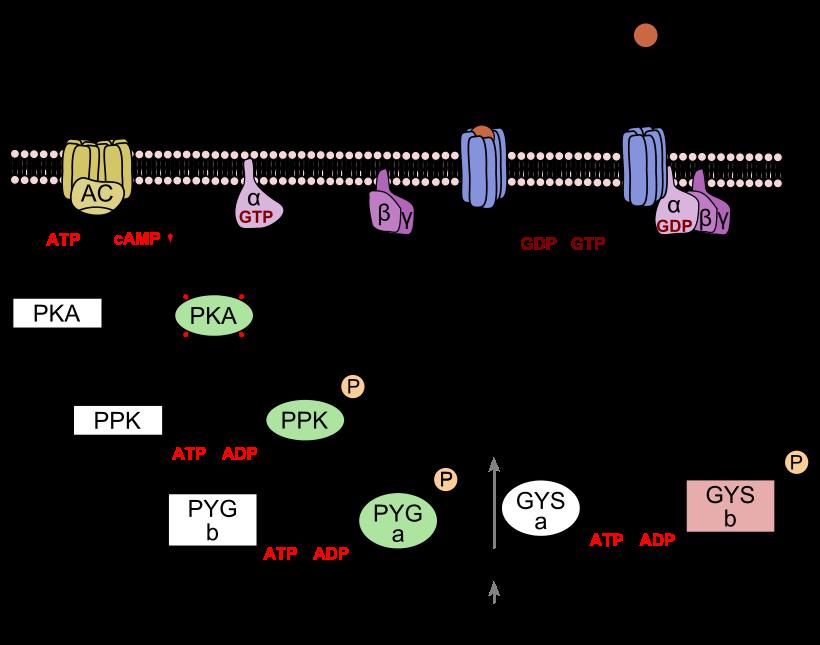 Особенности выработки и применения в инъекциях гормона глюкагона