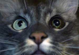 Глаукома у кошек что необходимо знать владельцу