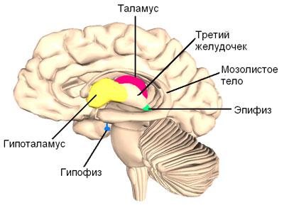 Промежуточный мозг – что общего между отделом цнс и гормональным балансом?