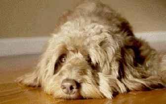 Артрогликан: инструкция по применению для собак