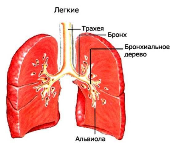 Как лечить трахеидный кашель у взрослого