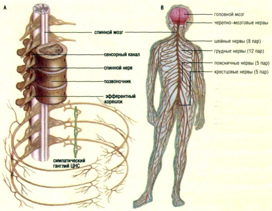 Периферическая нервная система - peripheral nervous system - qwe.wiki