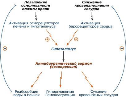 Гормоны гипоталамуса и их функции: таблица