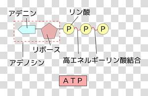 Аденозиндифосфат (адф) и аденозинтрифосфат (атф), их строение,локализация и роль в энергетическом обмене клетки.