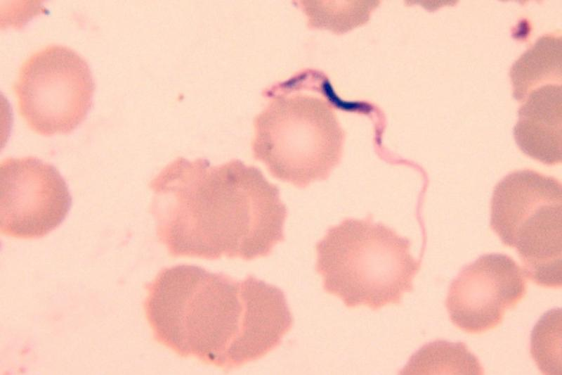 Трипаносома (сонная болезнь): что это, симптомы и лечение | все о паразитах