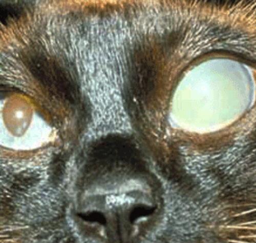 Кошачья глаукома - животные - 2020