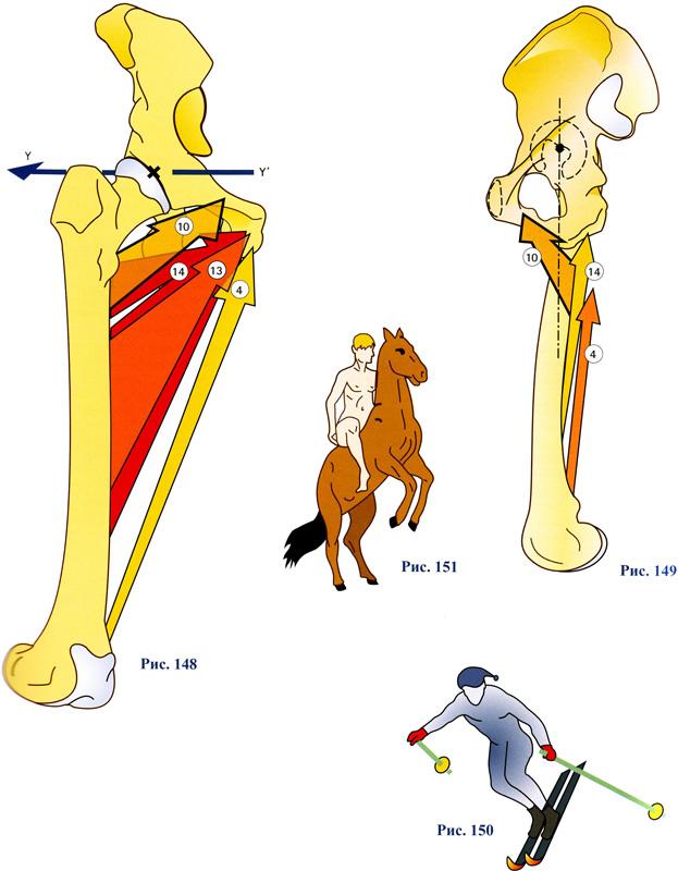 Топография нижней конечности. мышечная и сосудистая лакуна. приводящий канал. бедренный канал