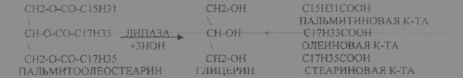"""Презентация на тему: """"ферме́нты или энзи́мы (от лат. fermentum) обычно белковые молекулы или молекулы рнк (рибозимы) или их комплексы, ускоряющие (катализирующие) химические."""". скачать бесплатно и без регистрации."""