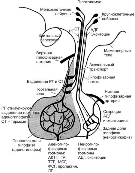 Функциональные особенности, нормы, причины и симптомы отклонений гормона актг