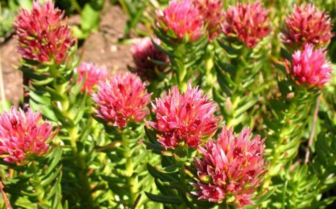 Золотой корень (родиола розовая): лечебные свойства и противопоказания, применение