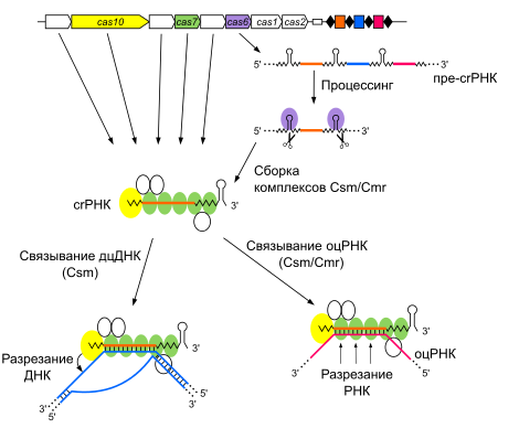 История генной инженерии генная инженерия появилась благодаря работам многих исследователей в разных отраслях биохимии и молекулярной генетики. на протяжении. - презентация