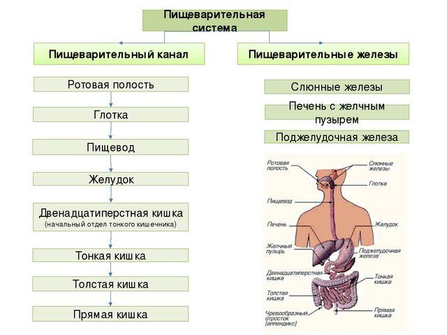 Физиология секреции желчи. физиологическая анатомия секреции желчи
