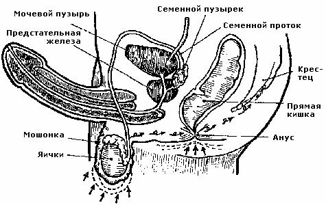 Раннее семяизвержение - преждевременная эякуляция, лечение раннего семяизвержения