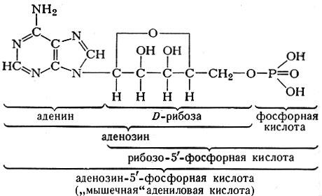 Аденозин - adenosine