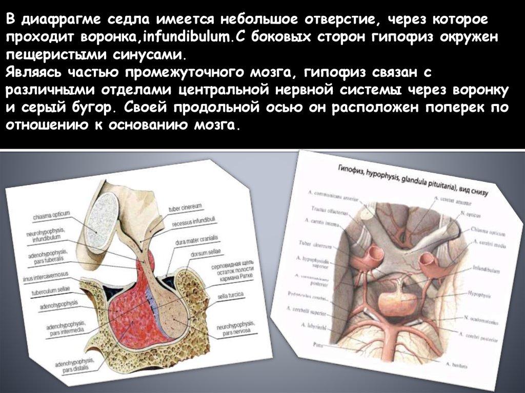 Гормоны передней (аденогипофиз) и задней (нейрогипофиз) доли гипофиза и их функции