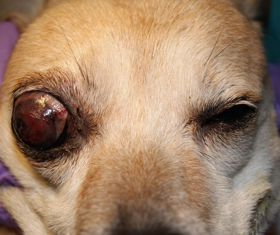 У кота глаукома лечение — все о проблемах с глазами