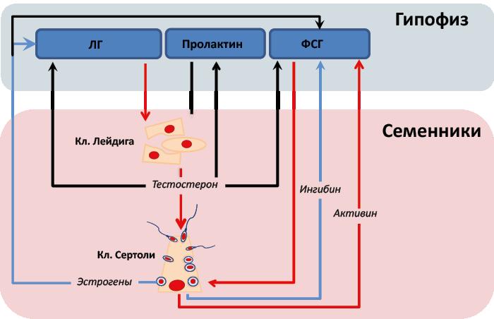 Мужской гормон андроген: на что влияет у мужчин и женщин