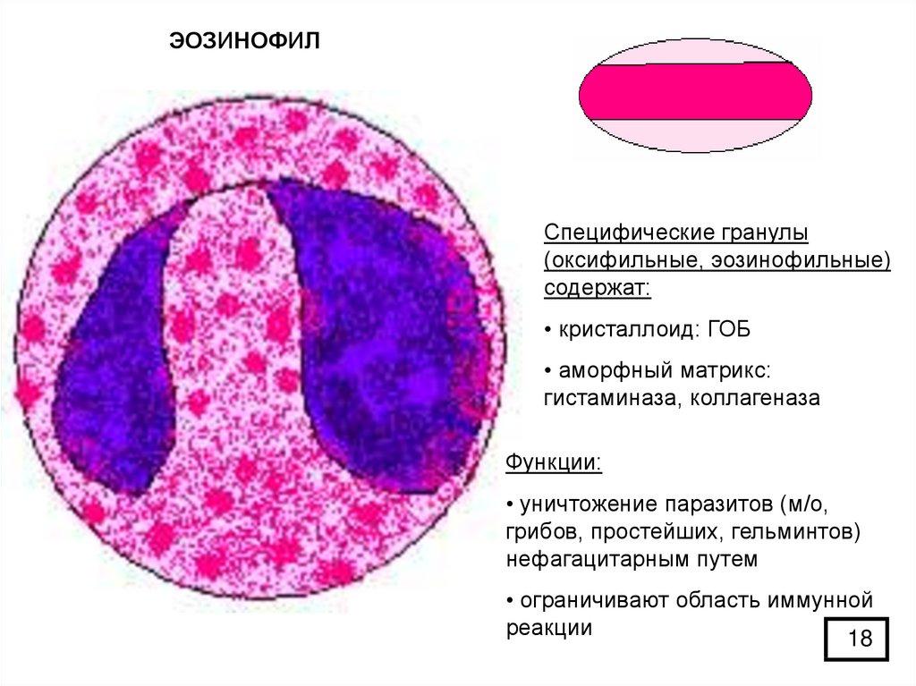 Базофилы в анализе крови — норма, строение, функции